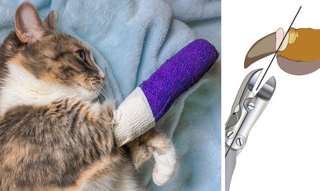 declawing la pisică - cruzime împotriva animalului